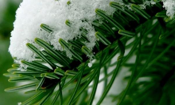 без проблем еловые ветки в снегу 480 800 термобелье невозможно